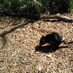 Cleland Hills Australia Tasmanian devil