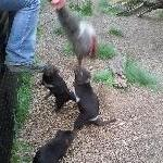 Fighting over wallaby meat
