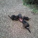 Tasmanian Devil eating habits