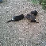 Tasmanian Devils at feeding time