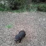 Tasmanian Devil at Cradle conservation park
