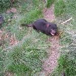 Tasmanian Devil being fed