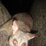 Possums in Hyde Park, Sydney City Australia Album Photos