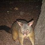 Possums in Hyde Park, Sydney City Australia Vacation Information