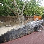Reconstruction of the biggest crocodile ever!