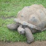Gallapagos Giant Turle in Australia