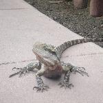 Lizards on walking paths in Beerwah