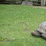 The giant turtles in Beerwah