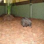 Cute echidna in Beerwah, Queensland