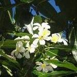 Mackay Australia Frangipani flowers in Mackay