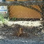 Quokka in Rottnest Island town, Rottnest Island Australia