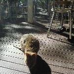 Curious Quokka on Rottnest