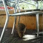 Quokka hiding on Rottnest