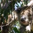 Photo Koala Holding close to Adelaide Cudlee Creek Australia