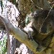 Koala at Gorge Wildlife Park, SA