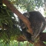Brighton Australia Koala at the Bonorong Wildlife Park