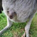 Brighton Australia Pictures of baby kangaroo