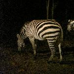 Chiang Mai Thailand Zebra's at the Night Safari in Chiang Mai