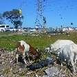 Goats in Nyanga looking for food, Cape Town South Africa