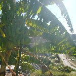 Banana leaves letting the sunshine through, Knysna South Africa