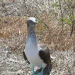 Blue footed Boobie on Isla de la Plata, Puerto Lopez Ecuador