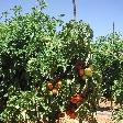 Carnarvon Australia Waiting for the tomatoes to turn red..