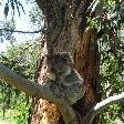 Koala sitting in the tree