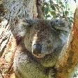 Koala in the tree around Cape Otwat