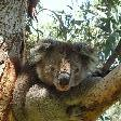 Koala pictures in Victoria