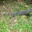 Photo Pictures of the giant lizard Tulum Mexico