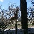 Giraffe at the zoo