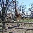 Giraffe at the Calgary Zoo