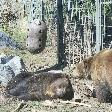 Bear taking a nap
