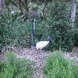 White Ibis in Sydney