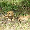 Lions during Safari in Kenya