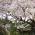 Cherry trees, Philosopher's Walk, Kyoto Japan