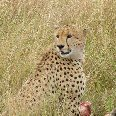Cheetah in the Masai Mara Reserve