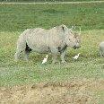 Masai Mara Kenya Rhino's in Kenya's Masai Mara Reserve