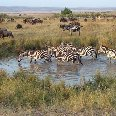 Zebra's, period of the Great Migration