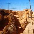 Tindouf Algeria Camels in the Sahara
