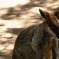 A wallaby at the zoo in Sydney.