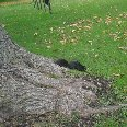Photo of a Black Squirrel in Niagara Falls.