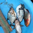 Photo Photos of the piranha's we catched in the pampas. Rurrenabaque Bolivia