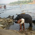 Bathing the elephants in Kochi, India.