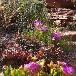 Purple wildflowers in Kalbarri at Mushroom Rock, Australia
