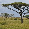 Beautiful trees in Serengeti National Park in Tanzania