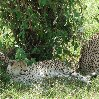 Leopards spotted on a game drive in Serengeti National Park in Tanzania