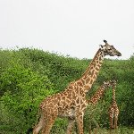 Giraffe's in Serengeti National Park in Tanzania