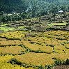 Photos of the rice fields in the Paro Region, Bhutan