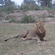 Picture of a Lion at Kafue National Park Wildlife Pictures, Zambia